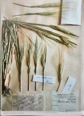 blé-éthiopie.jpg