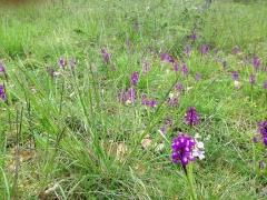orchis bouffon.jpg