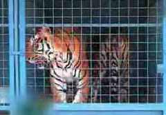 tigre zoo.jpg