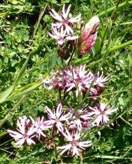 Silène fleur de coucou -web.jpg